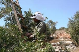 olivskörd_foto_ISM_Nablus